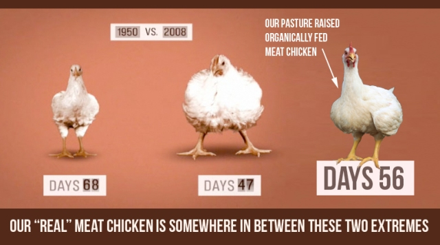 size of chickens over the years
